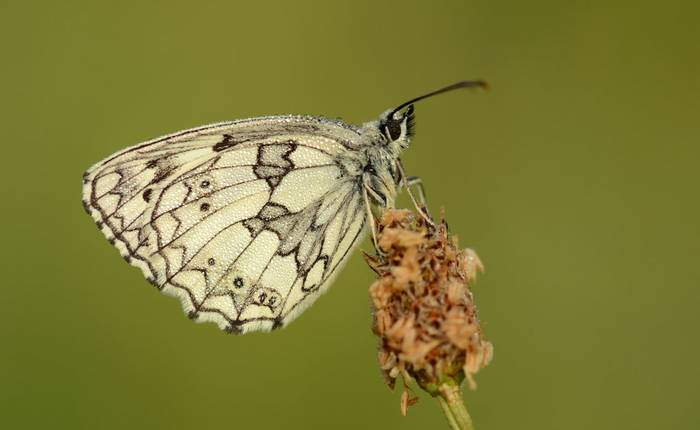 Marbled White, Somerset, UK shutterstock_1641656458.jpg