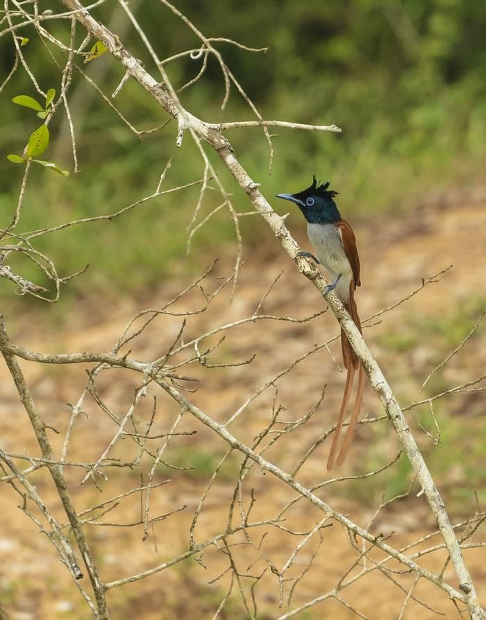 Asian Paradise Flycatcher (John Archer Thomson)