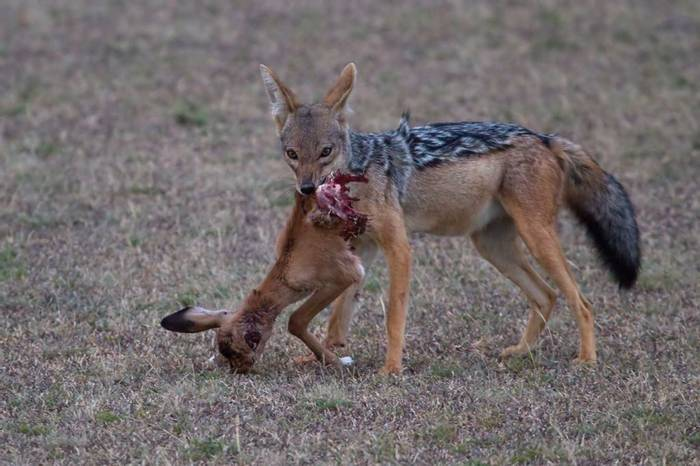 Black-backed Jackal (Colin Brown)