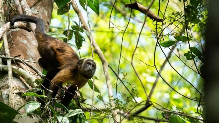 Brown Capuchin, Peru shutterstock_1449928766.jpg