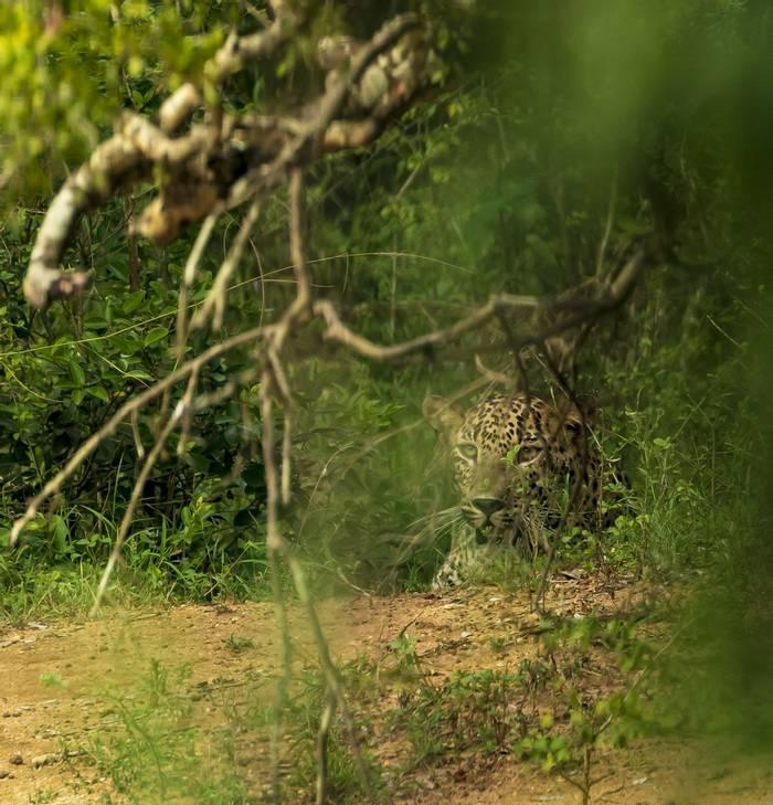 Leopard (John Archer Thomson)