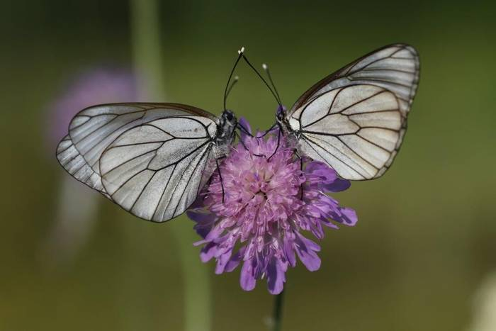 Black-veined White (Gerald Broddelez)