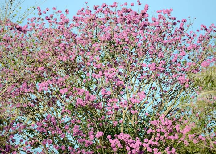 Piuva tree Blossom (Stephen Woodham)