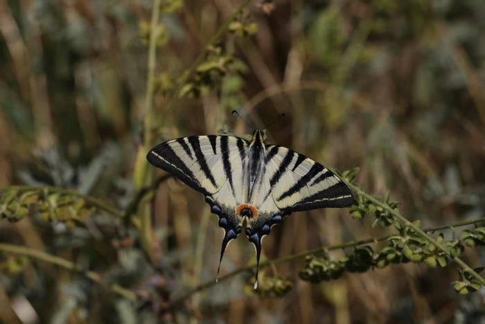 Scarce Swallowtail (Gerald Broddelez)
