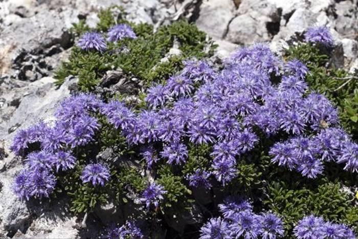 Matted Globularia (Lee Morgan)