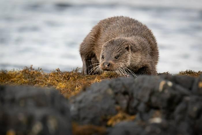 River Otter shutterstock_1669235500.jpg