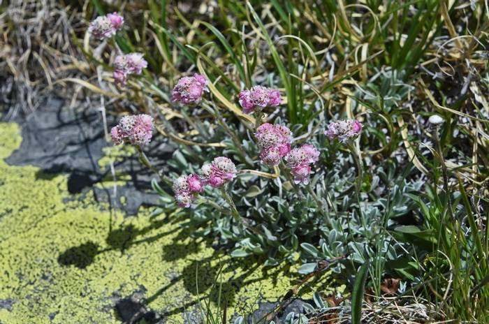 Cat's-foot (Antennaria dioica)