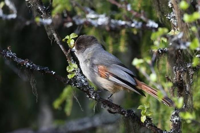 Siberian Jay (Gordon Small)