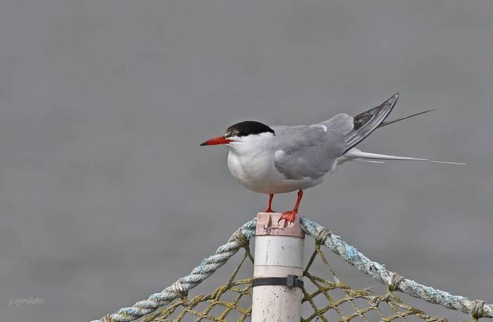 Common Tern (Georgos Spiridakis)