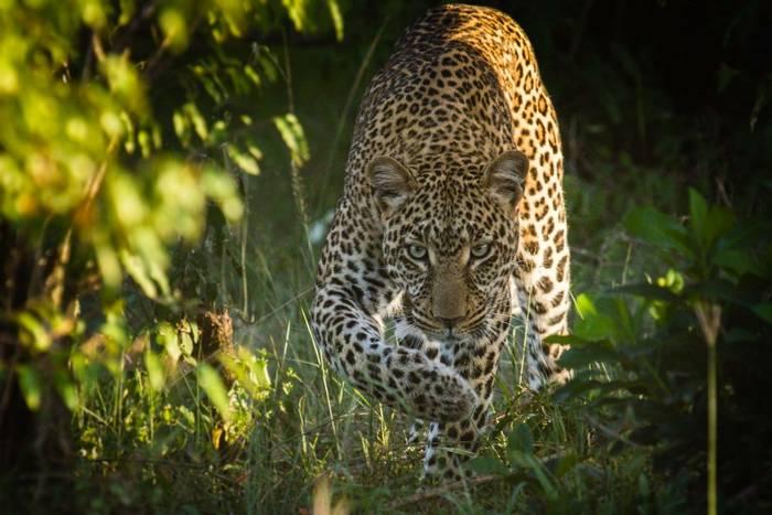 Leopard (John Haskew) (3).jpg