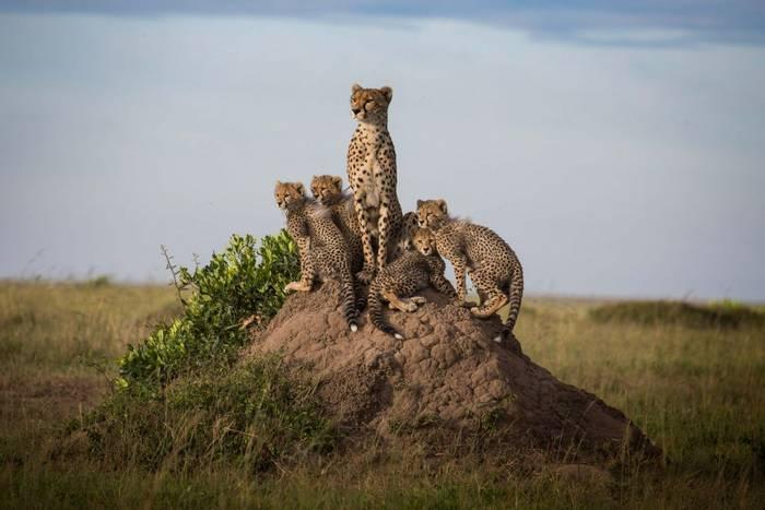 Cheetahs (John Haskew).jpg