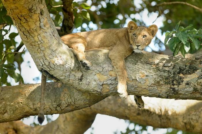 Lion, Uganda shutterstock_545592616.jpg