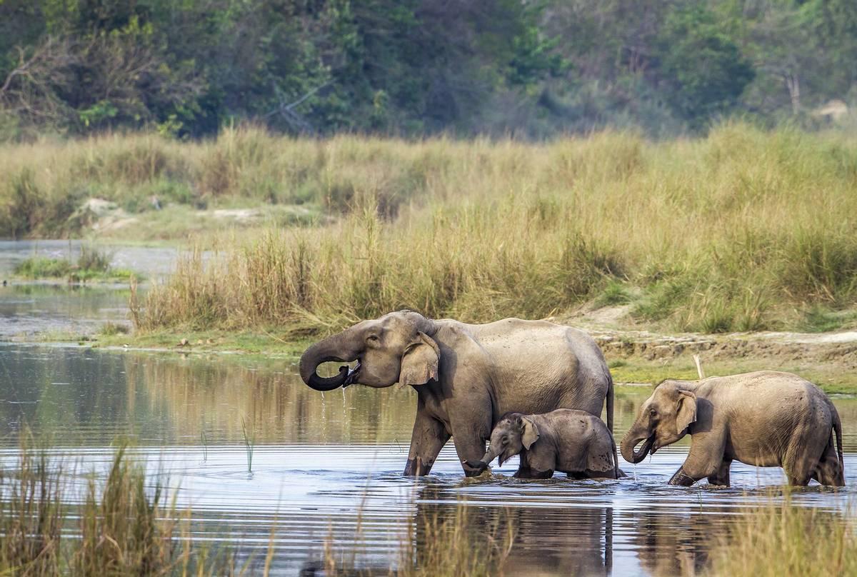 Asian-Elephants,-Chitwan-National-Park,-Nepal-shutterstock_446298943.jpg