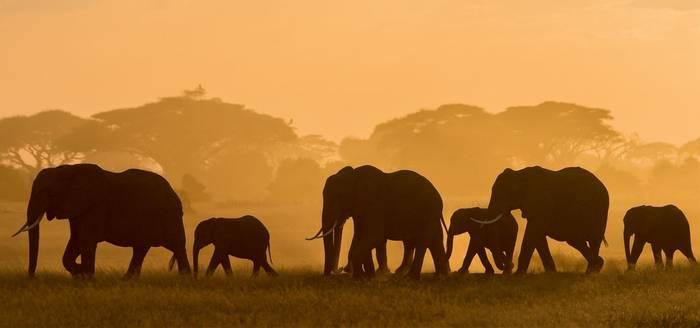 African-Elephants-shutterstock_436297285-(1).jpg