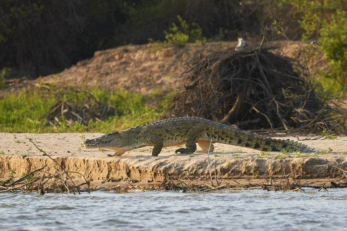 Nile Crocodile (Andrew Griffin)