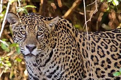 Jaguar, Pantanal By Dani Free