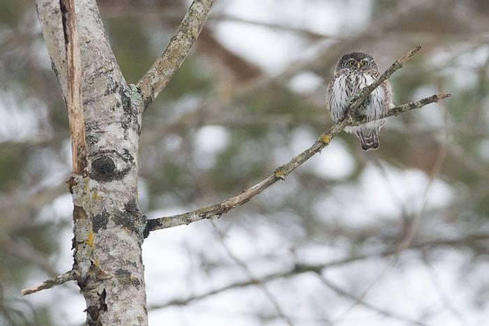 Pygmy Owl (Rob Daw)