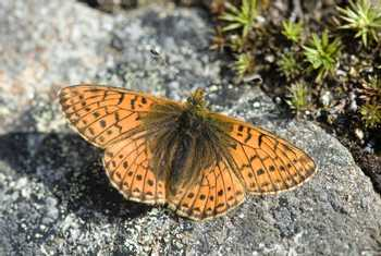 Mountain Fritillary, France shutterstock_108193901.jpg
