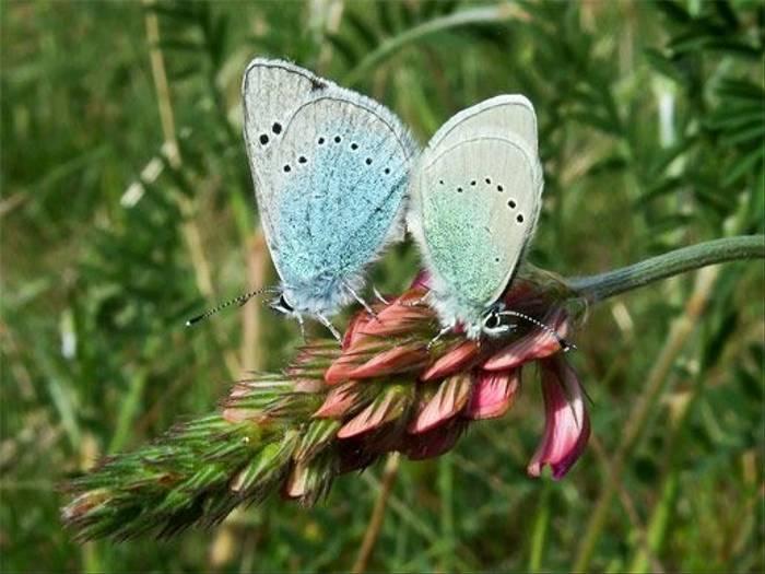 Green-underside Blue butterfly (John and Jenny Willsher)