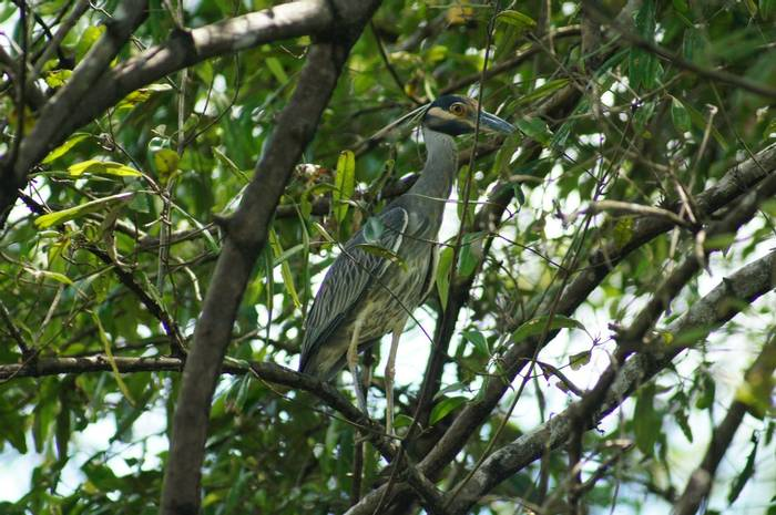 Yellow-crowned Night Heron (Brian West)