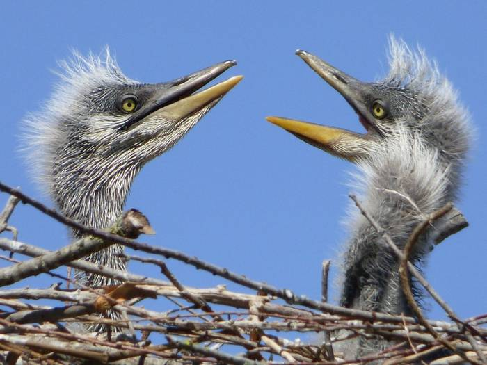 Heron Chicks (Debbie Hart)