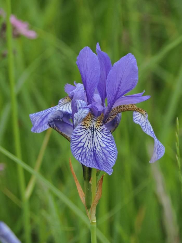 DSCN1591 Iris Sibirica (Domen Stanic)