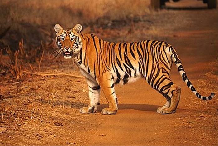 Tiger (Lance Tuckett)