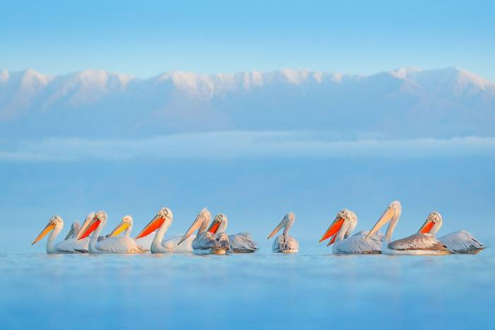 Pelicans, lake Kerkini, Greece shutterstock_1314513275.jpg