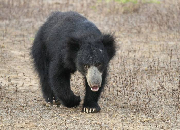 Sloth Bear (taken by Ian Williamson)
