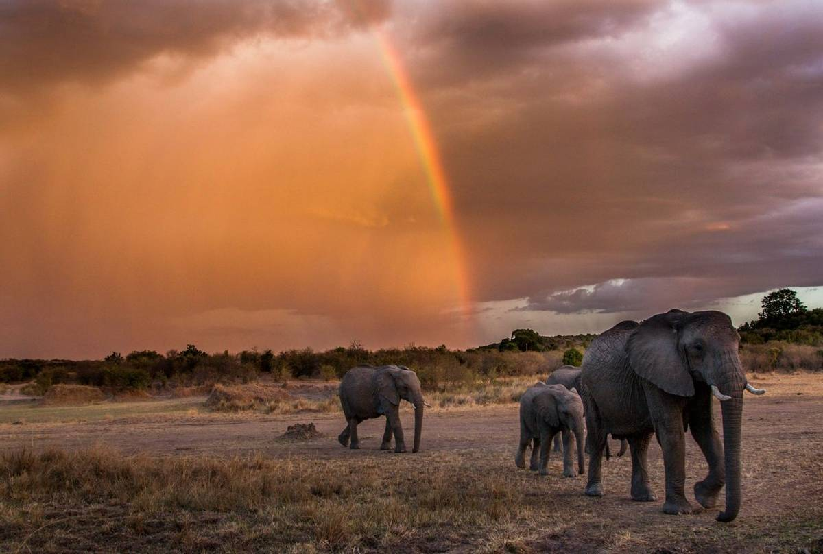 This family of elephant were moving from the open grasslands of the Masai Mara, Kenya and retiring into a wooded glade next …