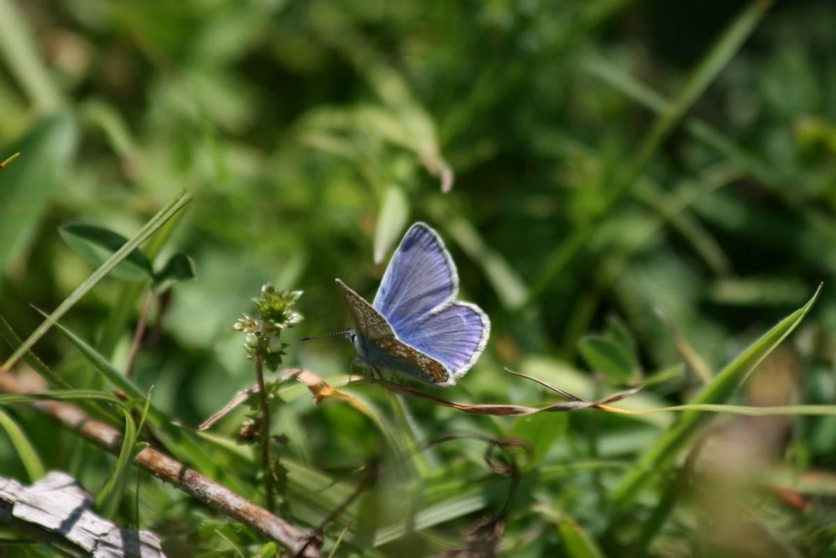 Blue_Butterfly.JPG