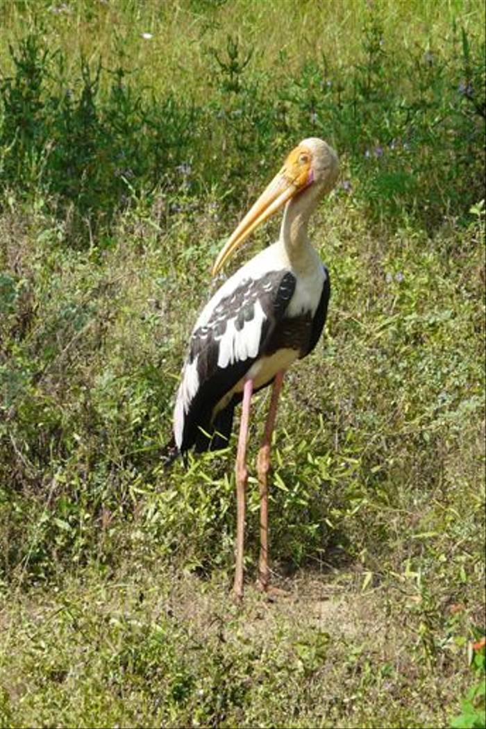 Painted Stork (Rajan Jolly)