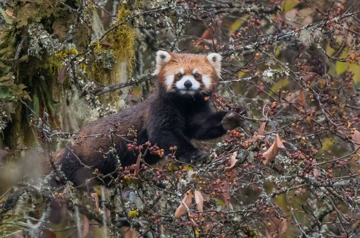 Red Panda (Tim Melling)
