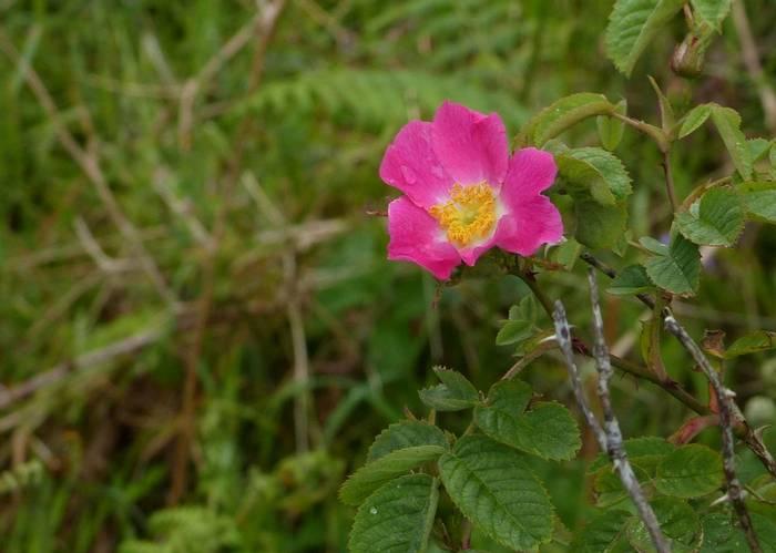 Sherrard's Downy Rose