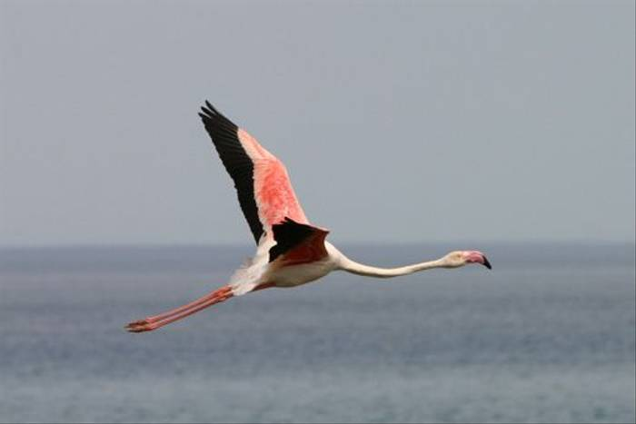Greater Flamingo (Peter Dunn)