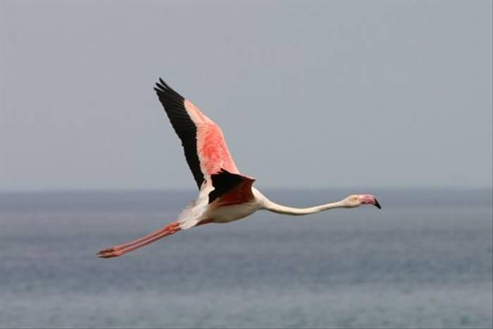 Greater Flamingo (Peter Dunn)