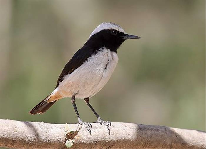 South Arabian Wheatear (Chris-Ward)