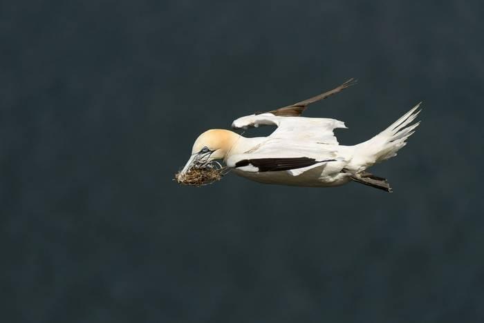 Gannet (Andrew Mason)