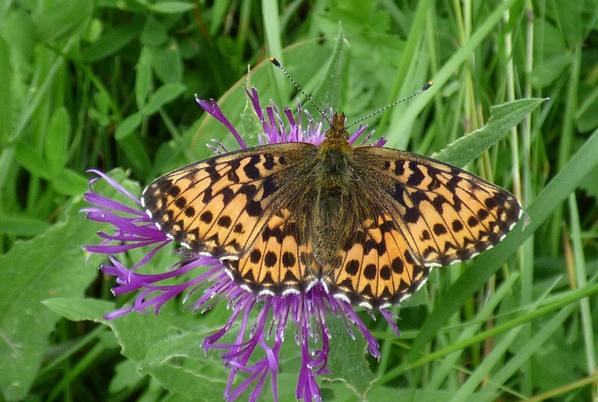 Titania's Fritillary on Hog Knapweed by Alan Miller