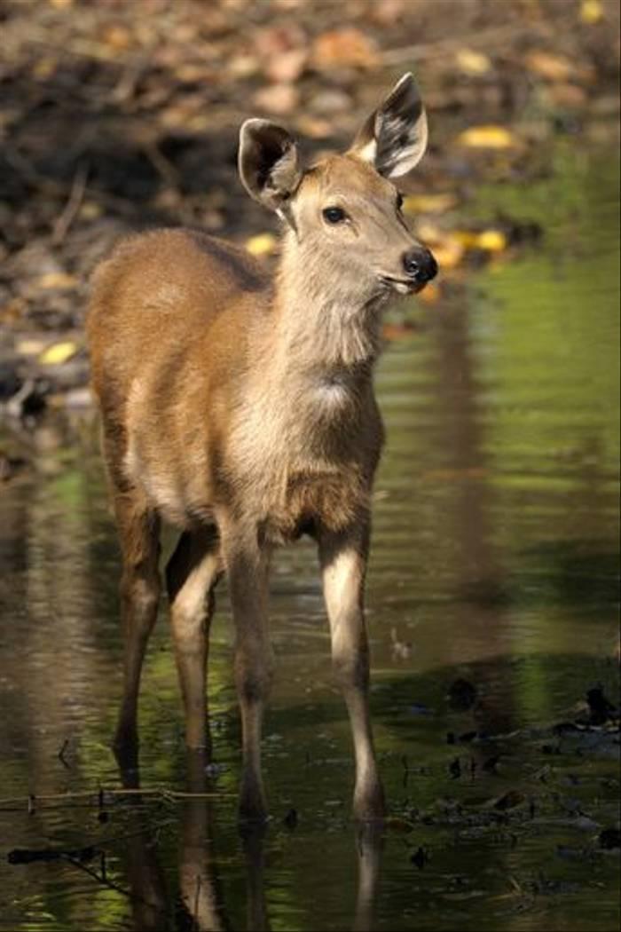 Sambar fawn, Bandhavgarh (Talat Khalid)