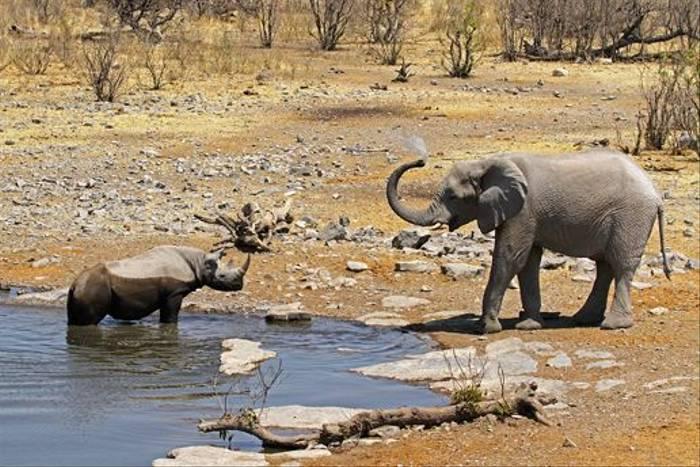 Black Rhino and African Elephant (Neil Macleod)