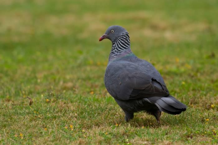Trocaz pigeon shutterstock_1233514693.jpg