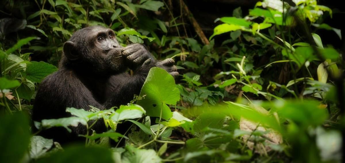 Chimpanzee, Kibale Shutterstock 596513891