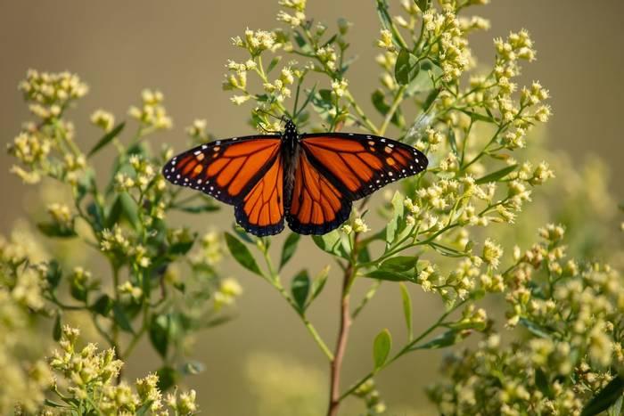 Monarch butterfly, USA shutterstock_1222105090.jpg