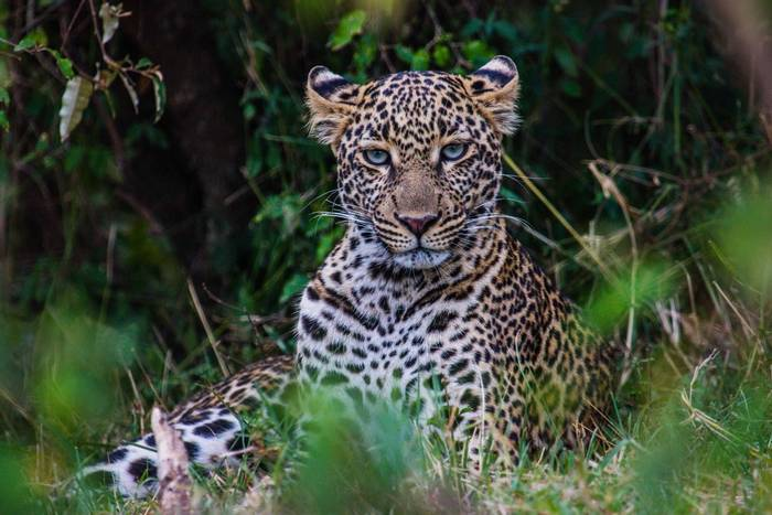 Leopard (John Haskew) (4).jpg