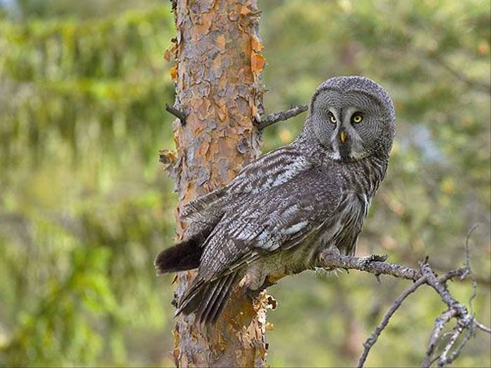 Great Grey Owl (Jari Peltomaki)
