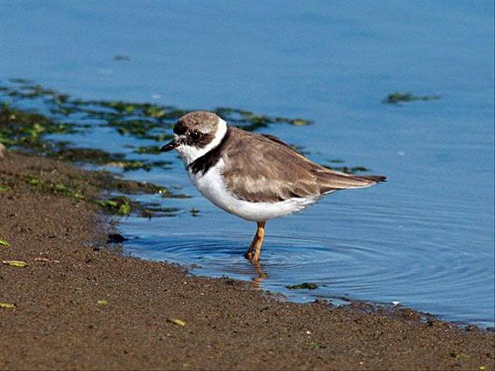 Semipalmated Plover (Peter Dunn)