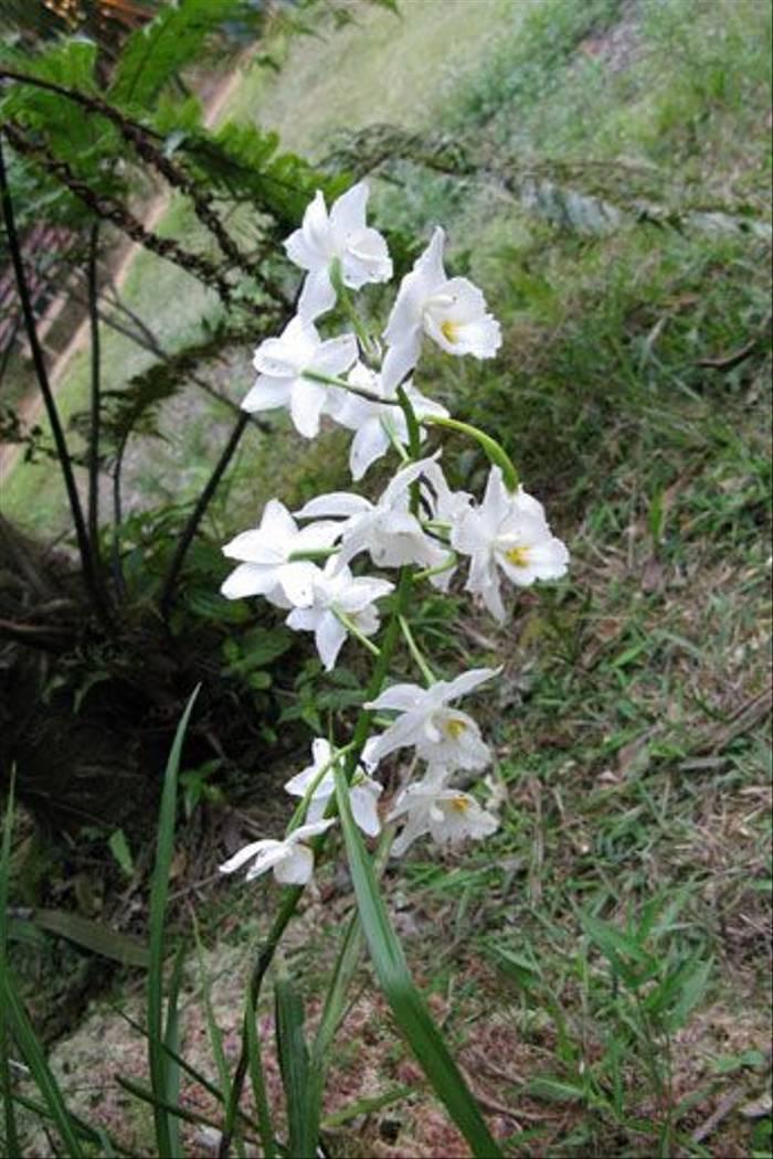 Gastrorchis tuberculosa