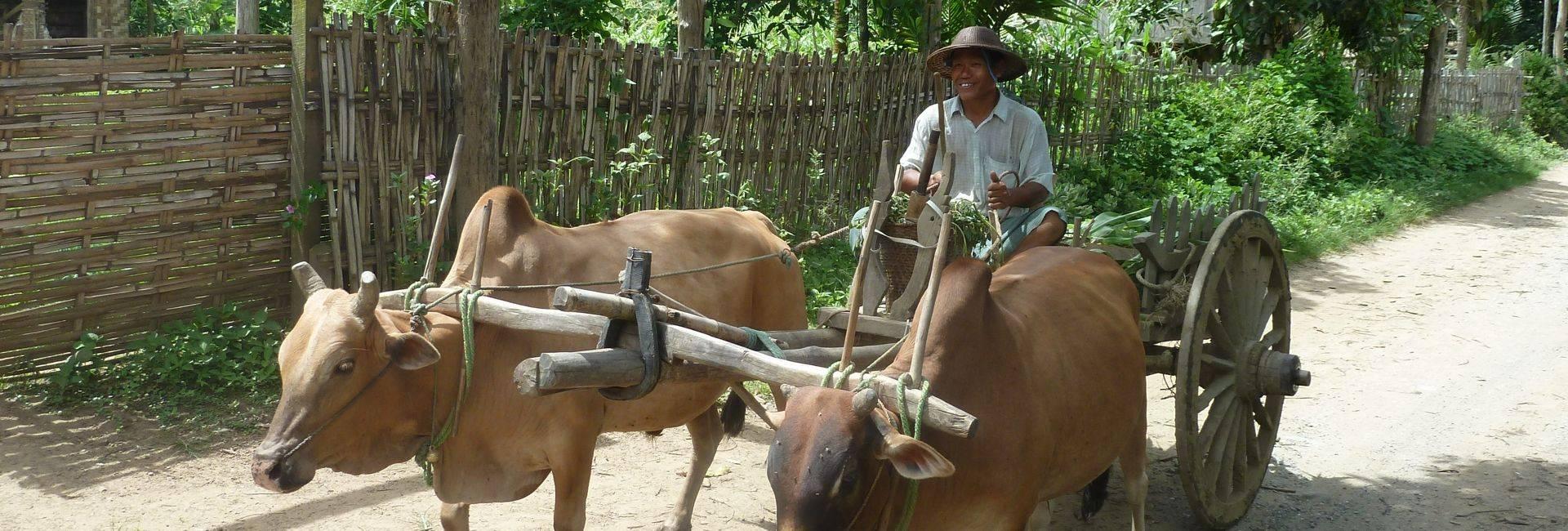 Buffalo cart in Chin state