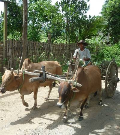 Buffalo cart in Chin state